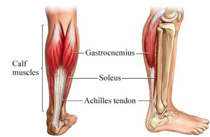 calf muscle/tendon group